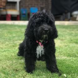Available Dogs – Doodle Rock Rescue – Dallas Tx Doodle Rescue