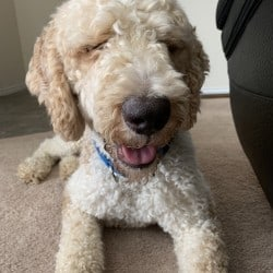 Available Dogs – Doodle Rock Rescue – Dallas TX