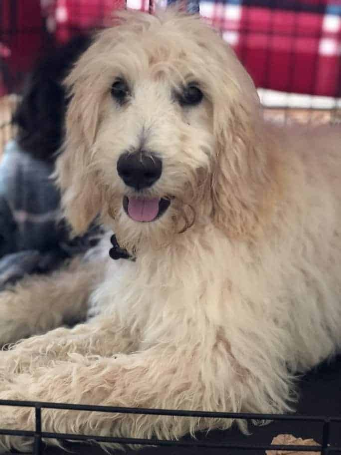 Upcoming Dogs – Doodle Rock Rescue – Dallas Tx Doodle Rescue